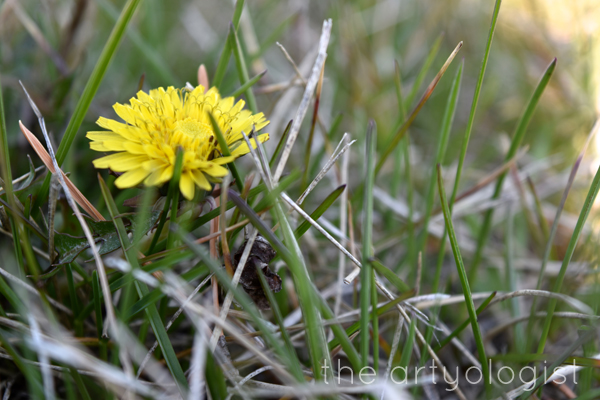 the artyologist image of first dandelion