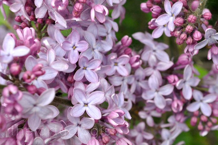 image of lilacs the artyologist