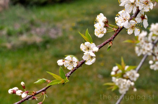 image of flowering plum the artyologist