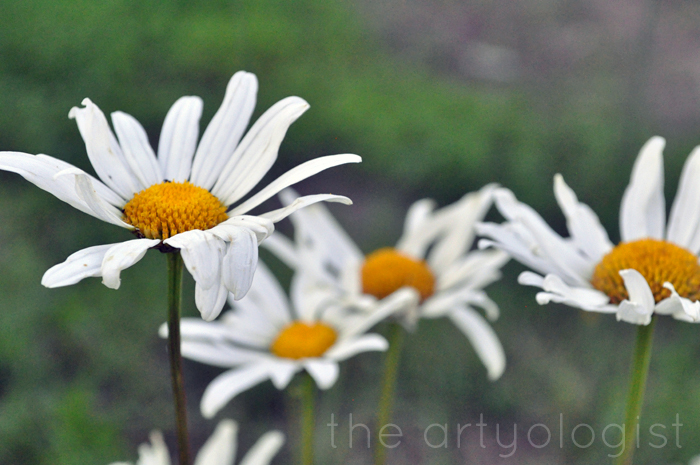 daisies the artyologist