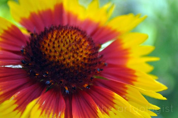 blanketflower, the artyologist