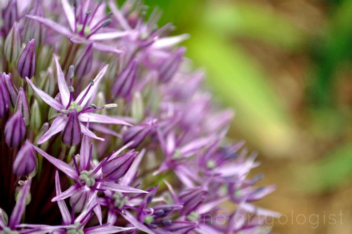 allium, technicolor flowers, the artyologist