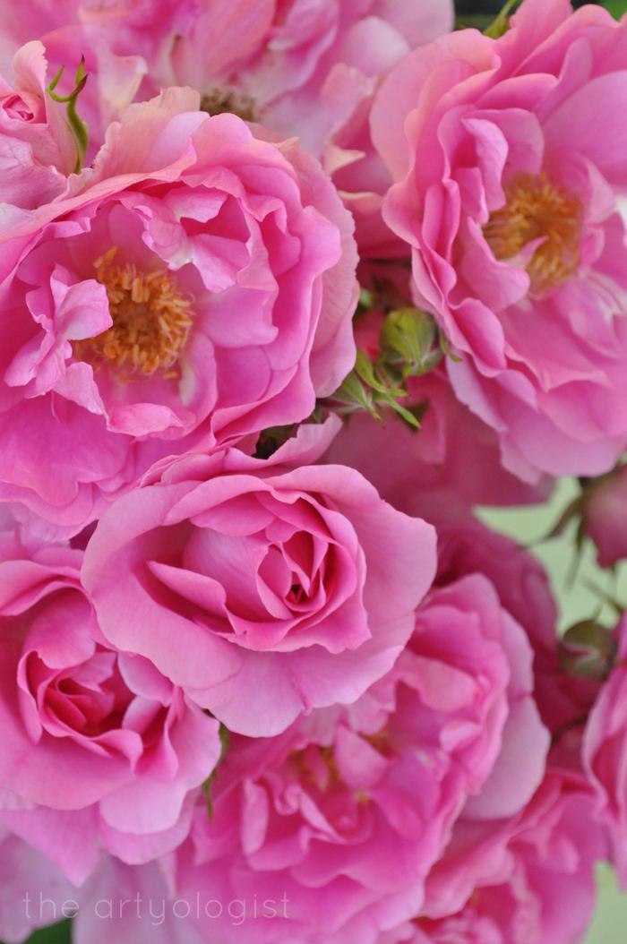 Grandma's bright pink rose, Technicolor Flowers, The Artyologist