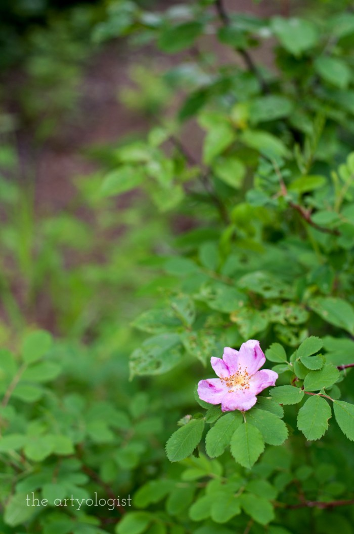 wild alberta rose, the artyologist