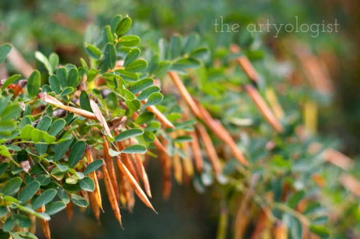 Photo Journal: Fall Time at the Farm, the artyologist, caragana seeds detail