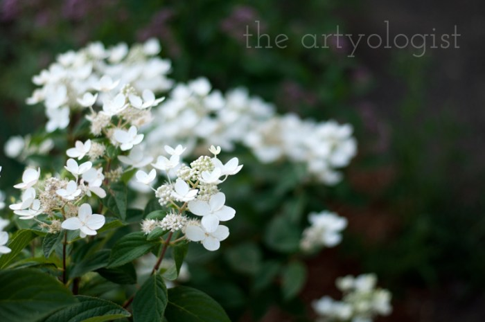 hydrangea-side-view, the artyologist