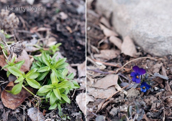 flowers coming up, life lately