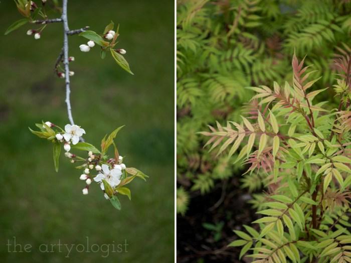 plum tree and false spirea