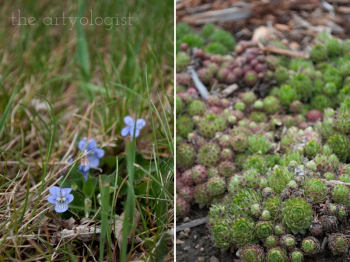 violets and hens and chicks