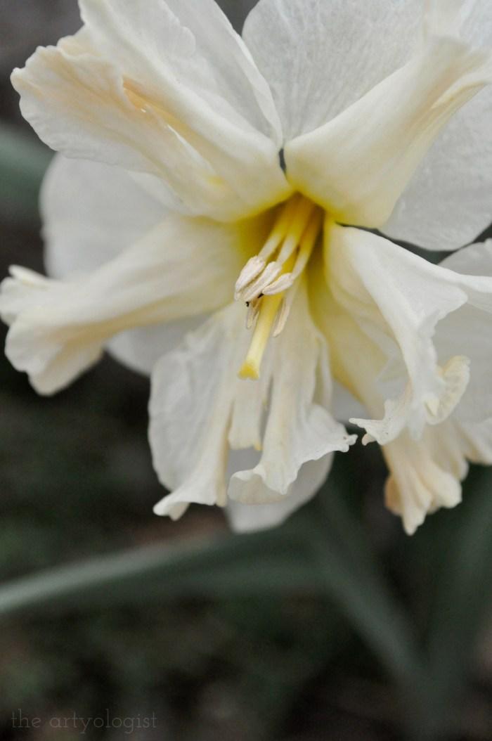 pale daffodil bloom