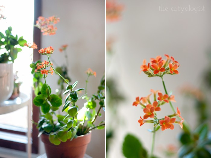 orange flowers blooming on a kolanchoe succulent