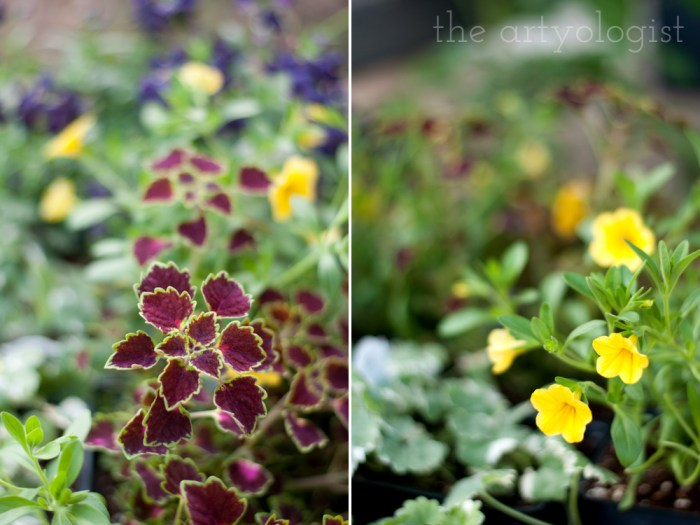 red and green coleus leaves and a yellow million bells flower