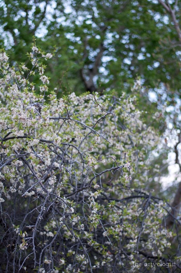 plum tree in spring