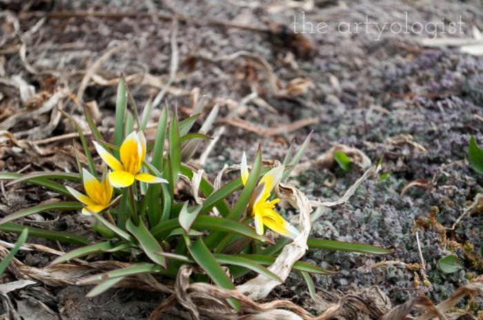 tiny spiky flowered yellow woodland tulips