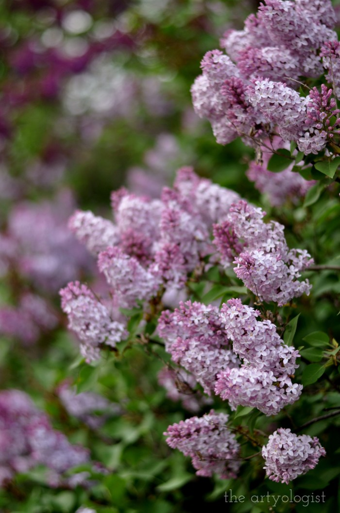 hedge covered in lilacs