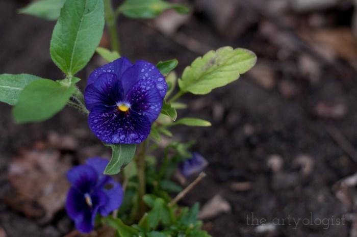 dark purple blue pansy covered in rain drops