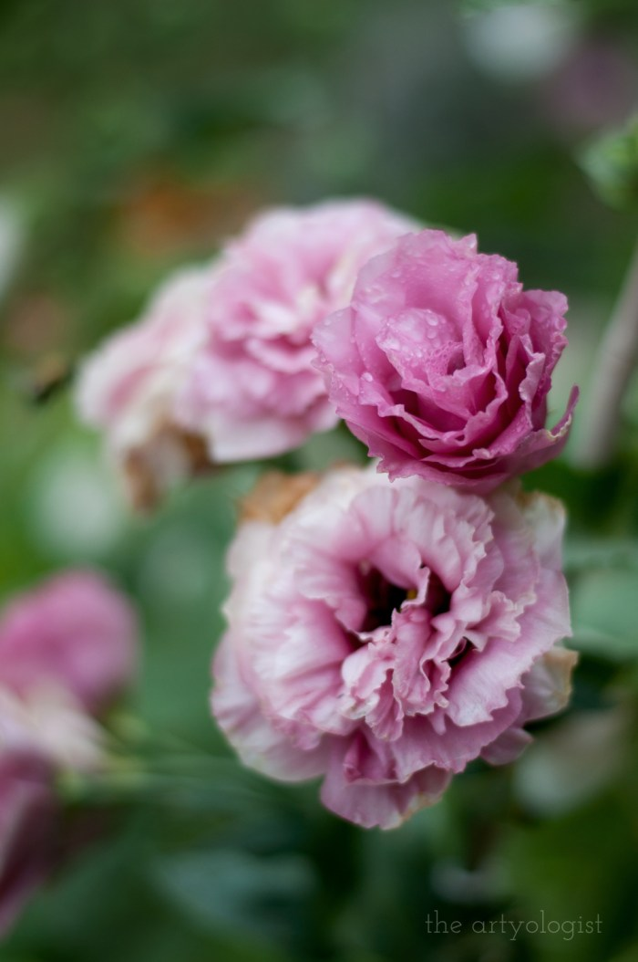 pink ruffled flowers with raindrops on them