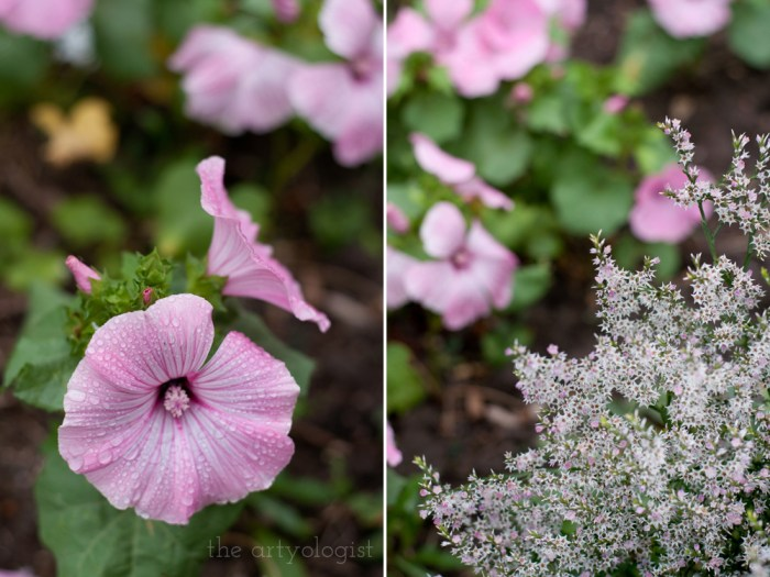 rose mallow and german statice flowers in the garden