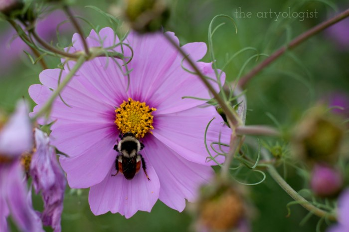 cosmos bloom with a bee sitting on top