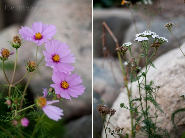 cosmos blooms and yarrow
