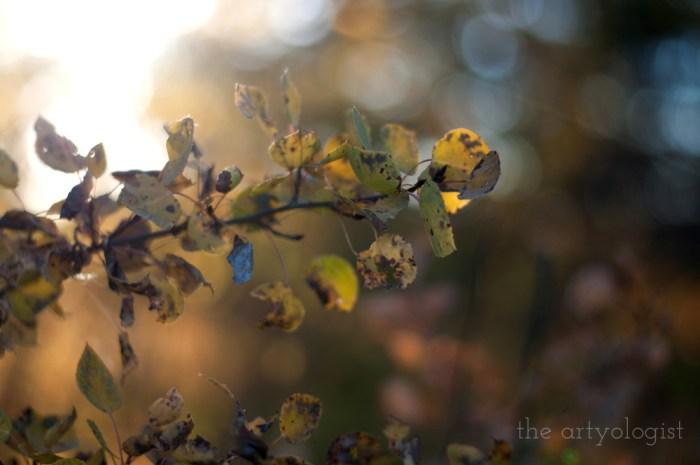 poplar branch in golden sunset light