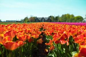Holland Tulip Fields