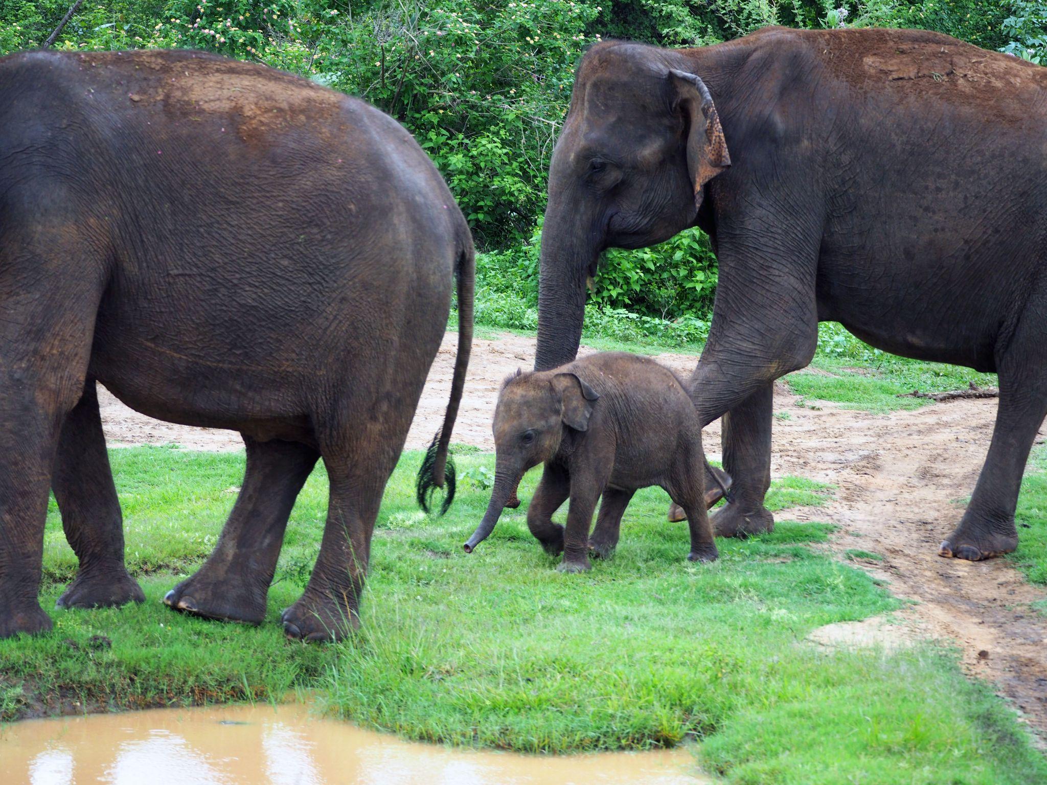 Baby elephant with family Udawalwe National Park