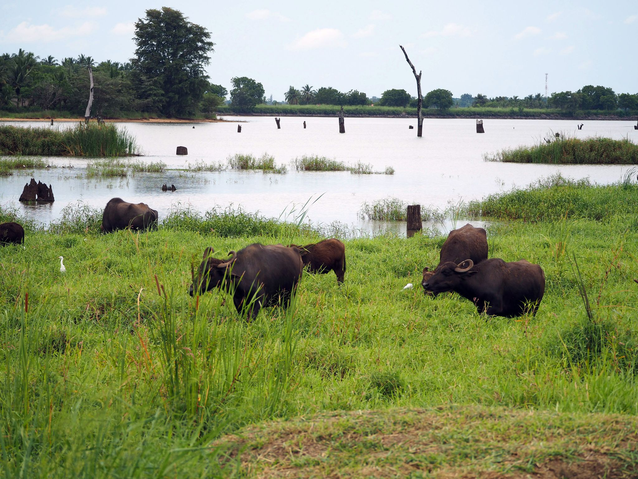 Buffalo by lake at Master Campers Udawalawe