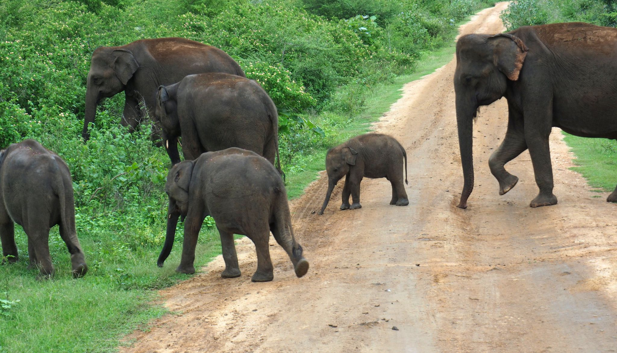 Elephant family crossing road Udawalwe National Park