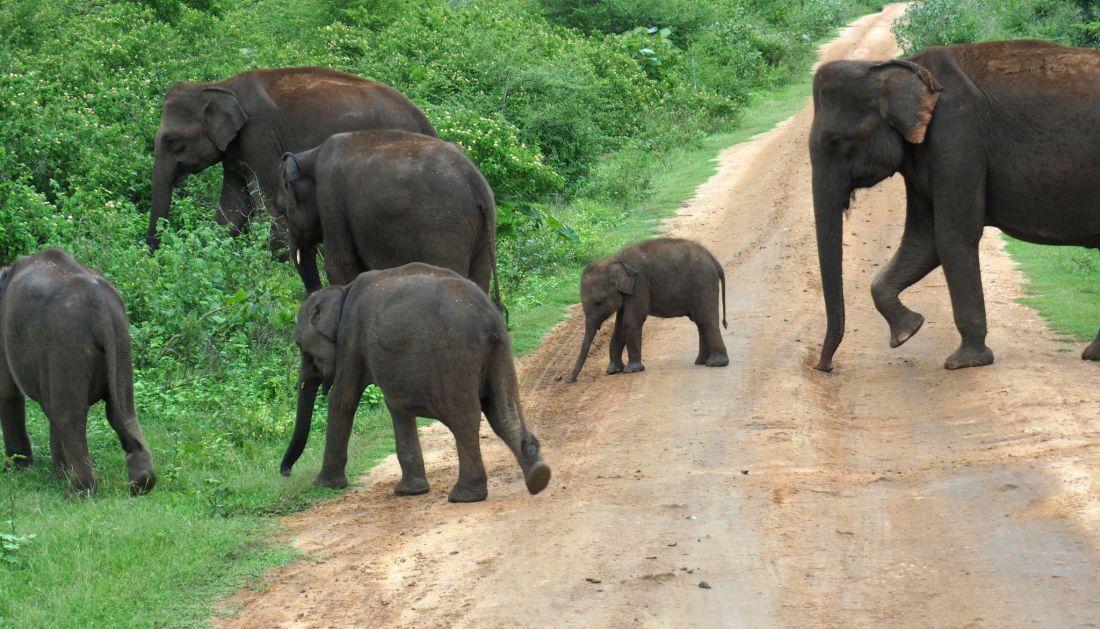 Elephant family crossing road Udawalwe National Park
