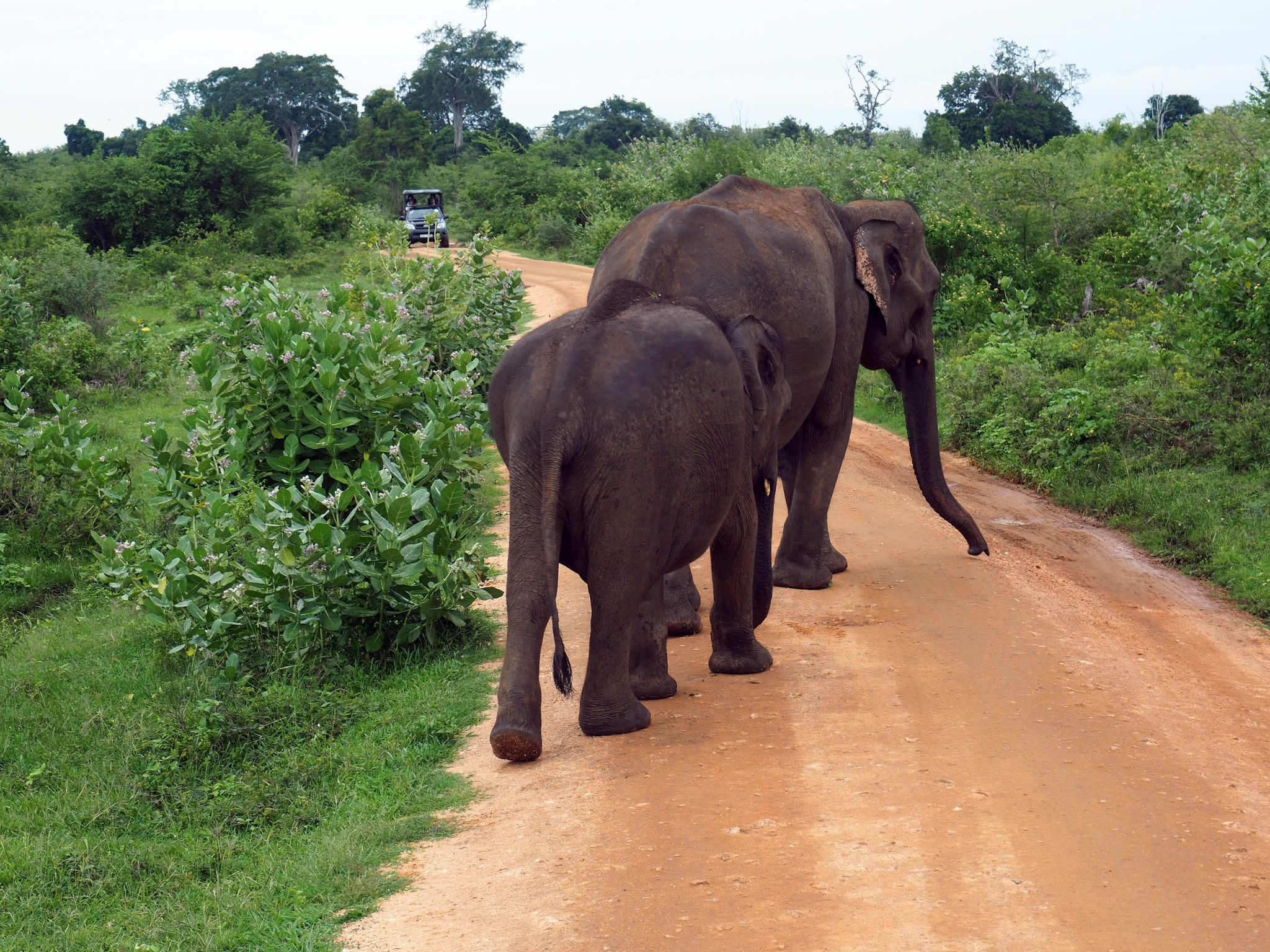 Elephants walking down road Udawalwe National Park