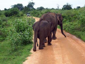Elephants walking down road Udawalwe National Park