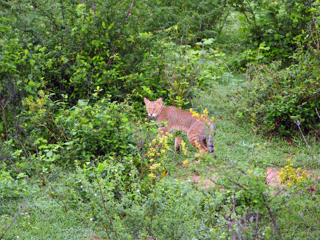 Jungle cat Udawalwe National Park