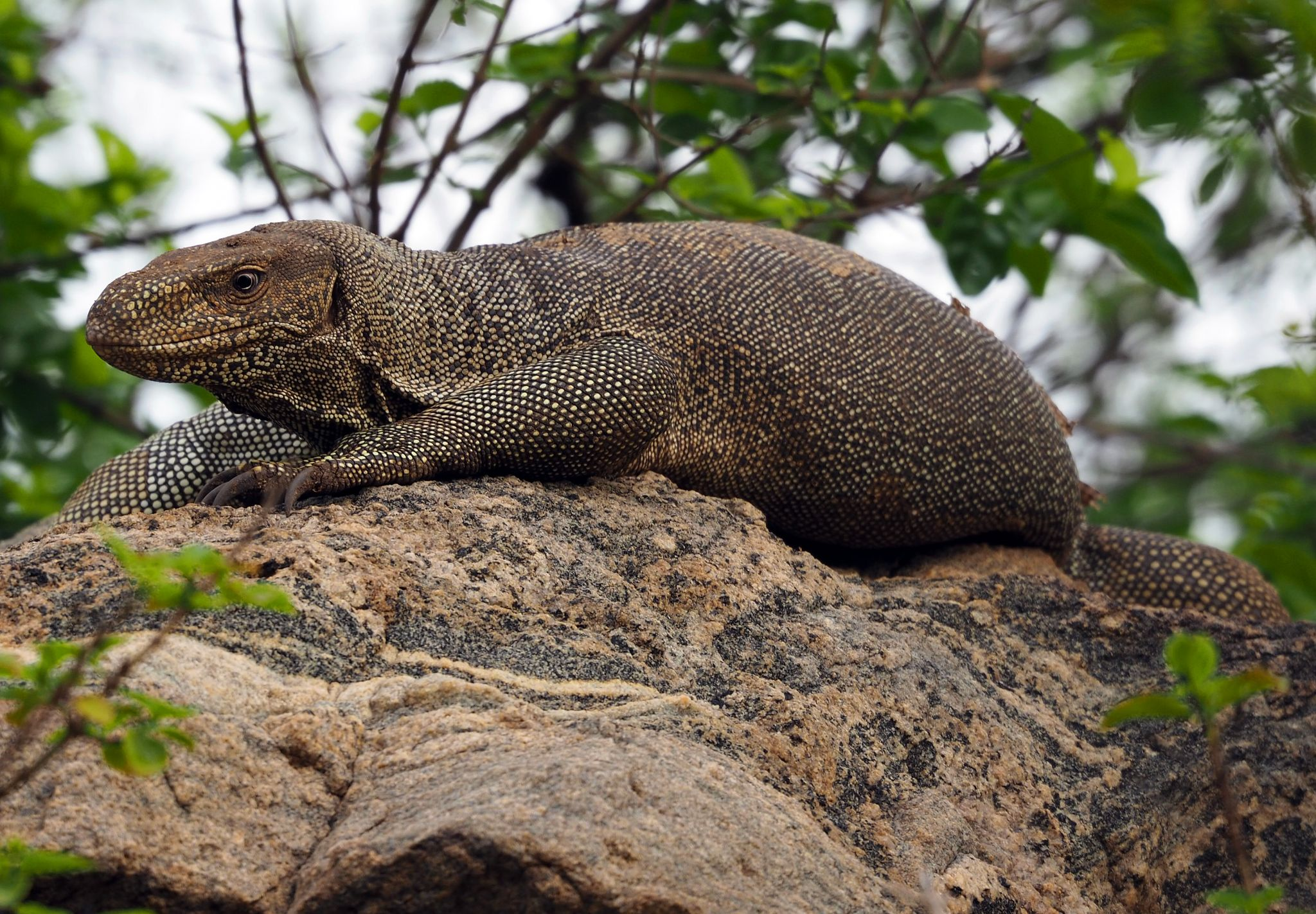 Lizard Udawalwe National Park