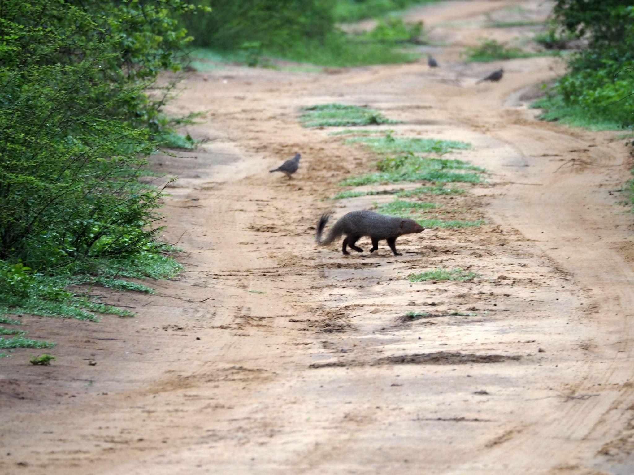 Mongoose Udawalwe National Park