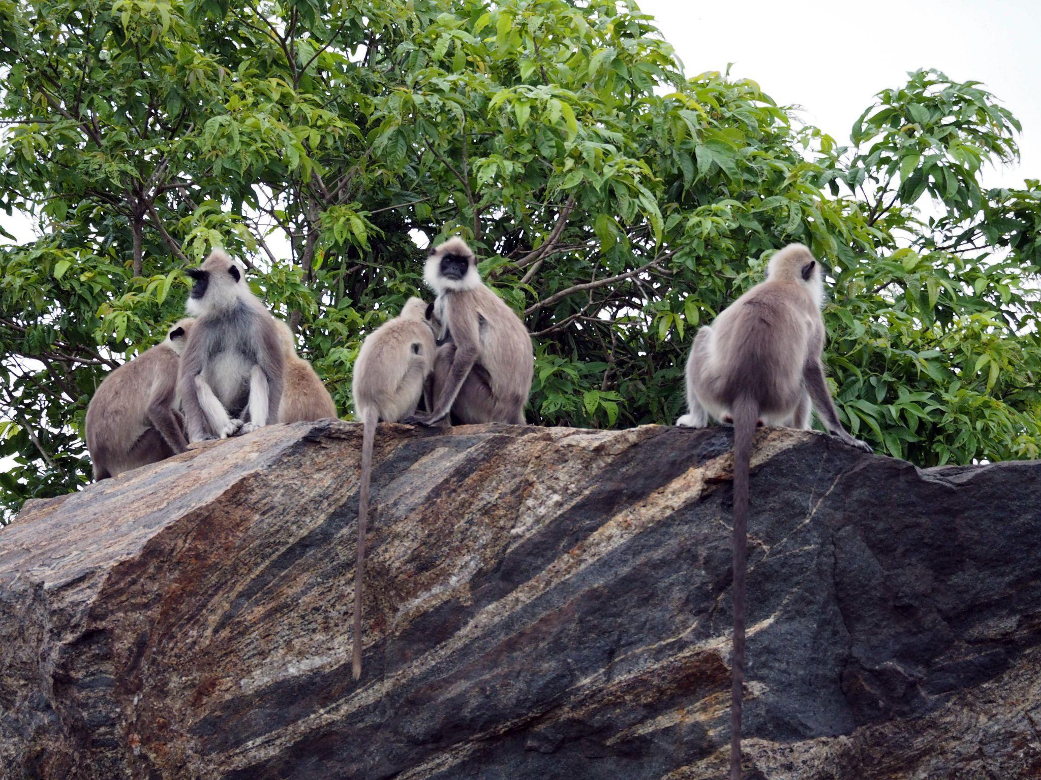 Monkeys on rock Udawalwe National Park