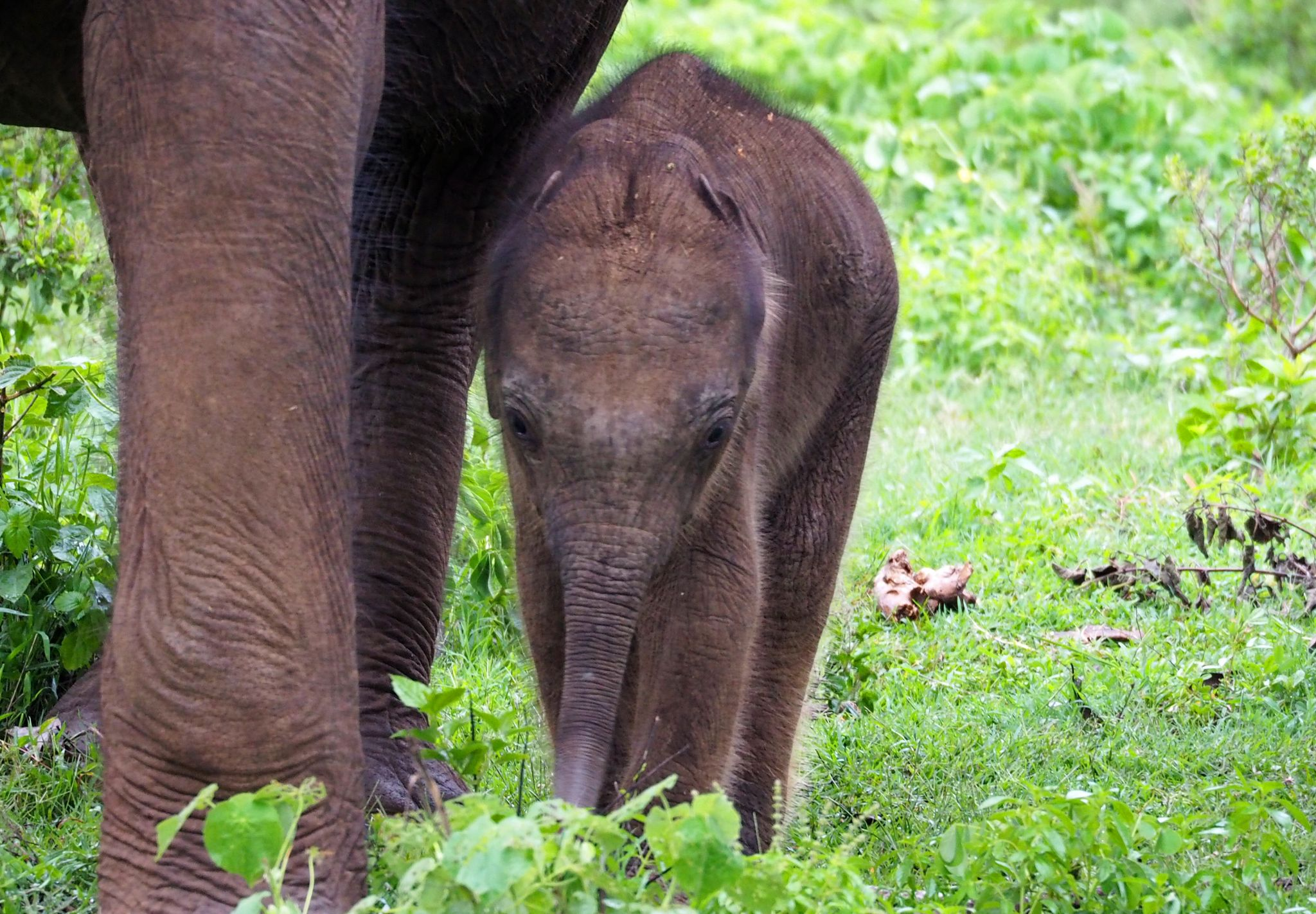Newborn elephant Udawalwe National Park