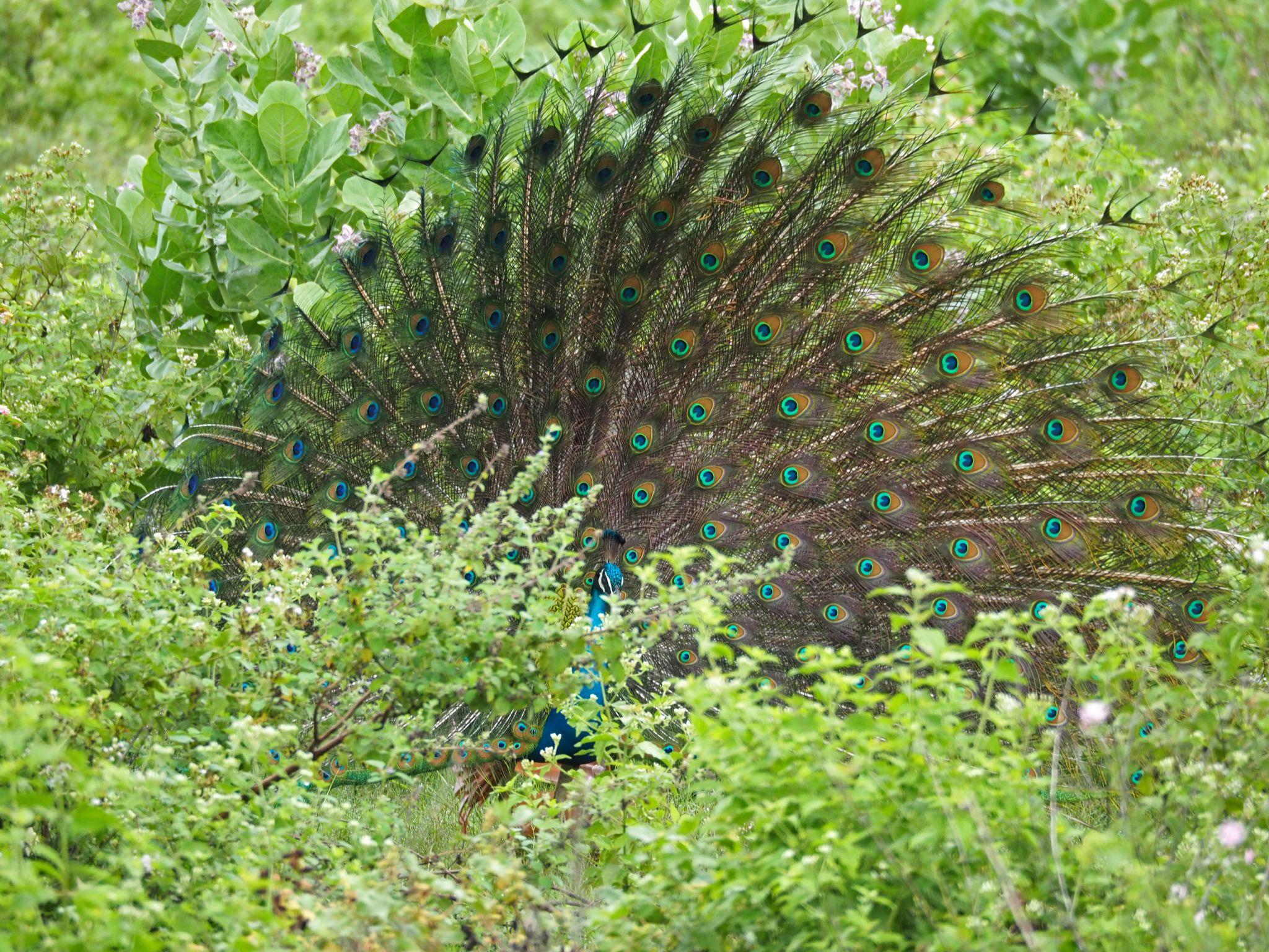Peacock Udawalwe National Park