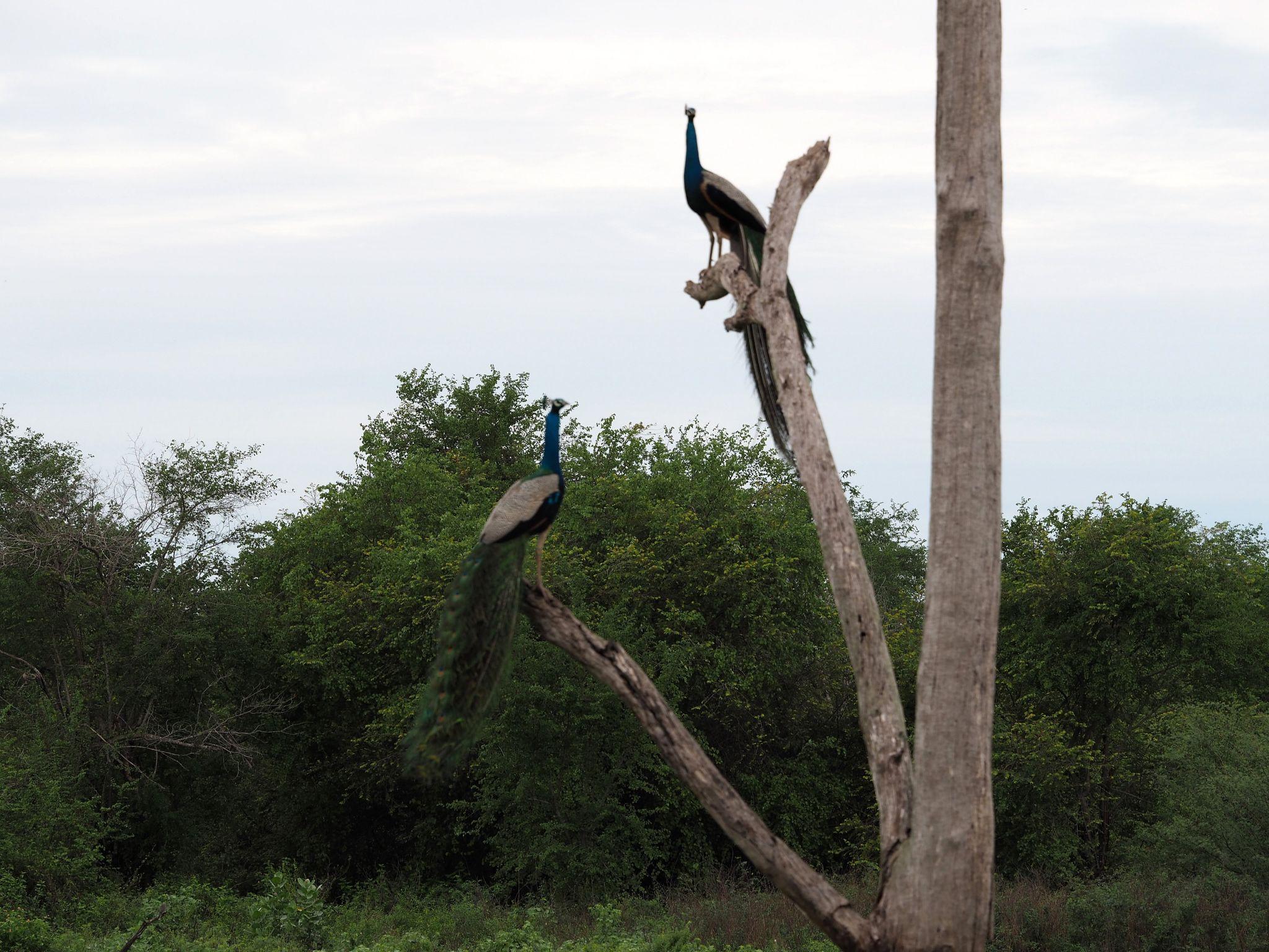 Peacocks in tree Udawalwe National Park