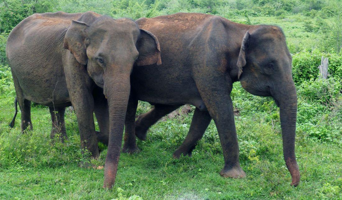Two elephants in Udawalwe National Park