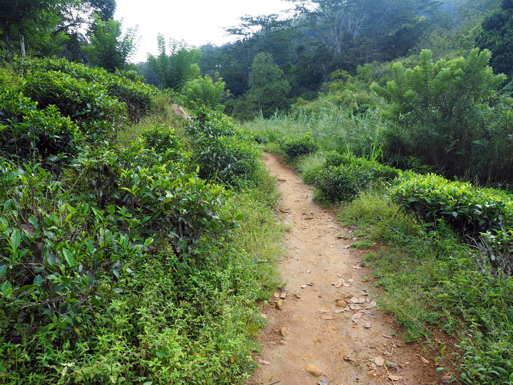 Path through tea plantations to Ella Rock