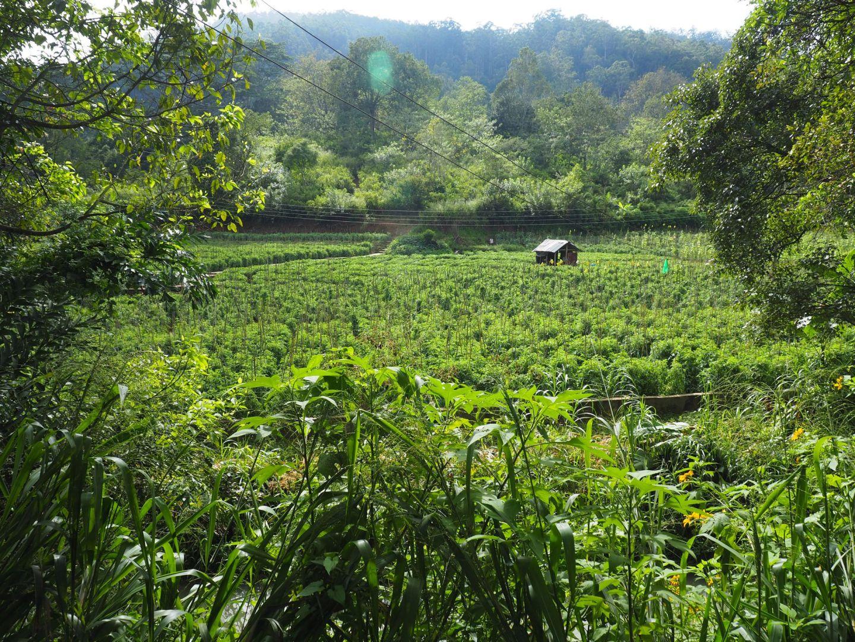 Sri Lankan tea plantations