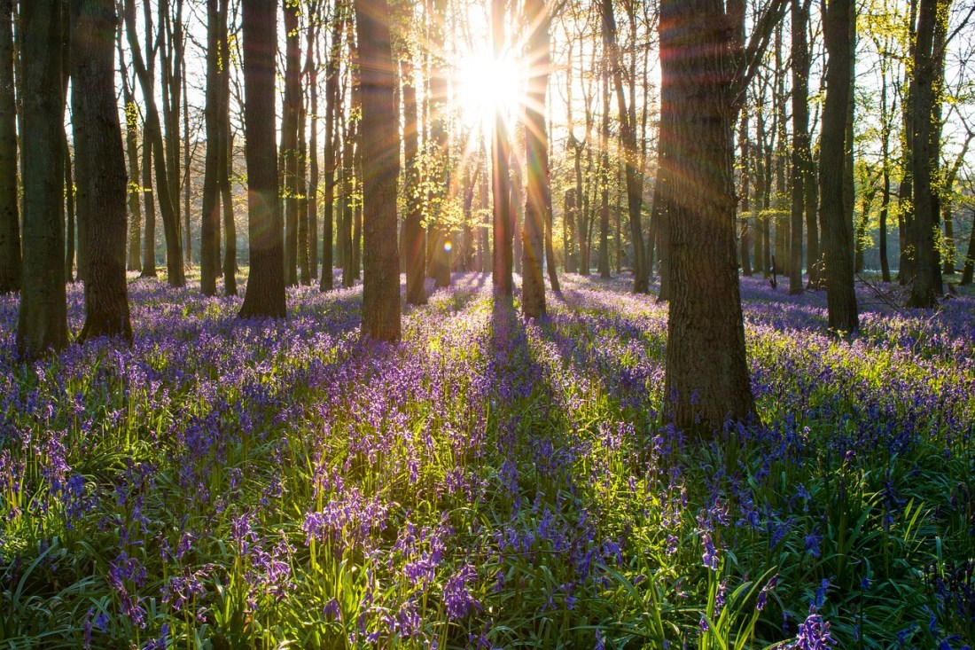 Bluebell Forest England