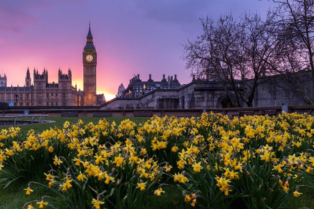Daffodils Big Ben London