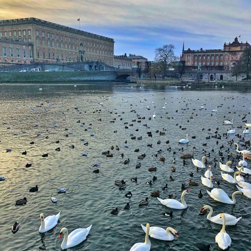 Birds in water in front of Royal Palace Stockholm