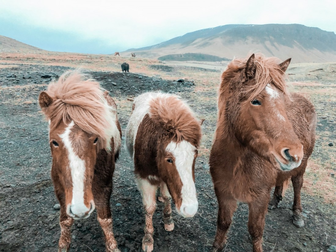 Friendly with Icelandic Horses