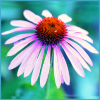 The Austin Alchemist Media Company offers body mind spirit news resources and events - flower-coneflower-herb