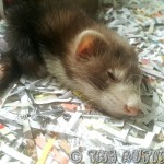 Meet the ferrets helping my kids with #Autism