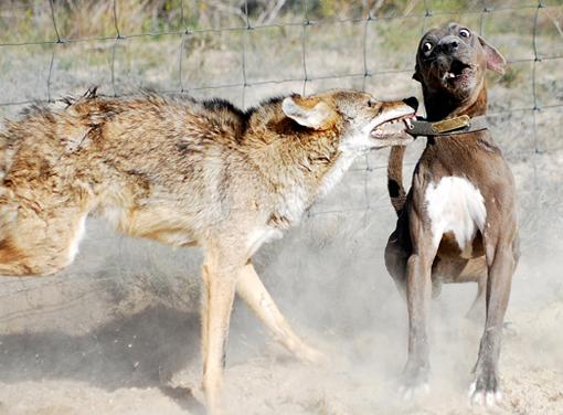 CoyoteVdog