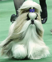 Patty Hearst's prize-winning Shih-Tzu